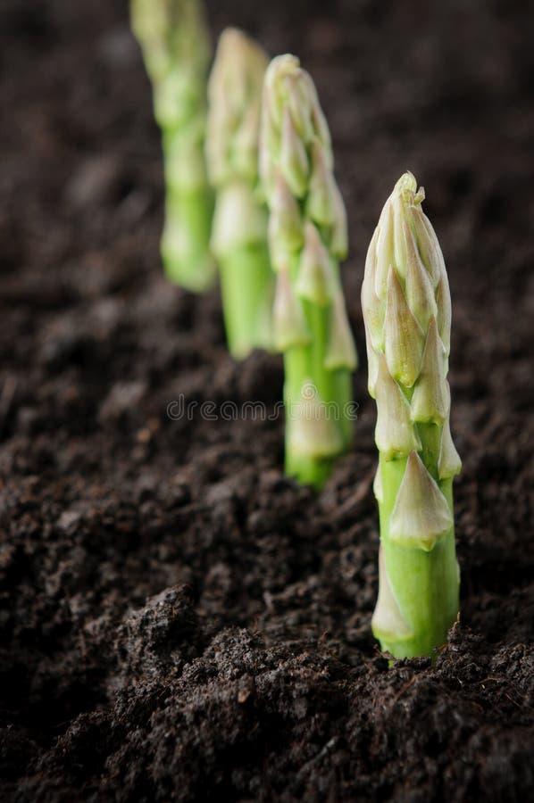 Espargos do cultivo orgânico imagens de stock
