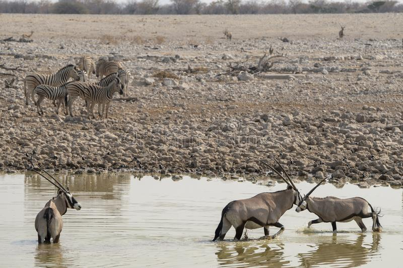 Zebras and Oryx at the waterhole at Okaukuejo, Etosha - Namibia. Especially in the morning and the evening a lot of animals drink from the waterhole. very nice stock photo