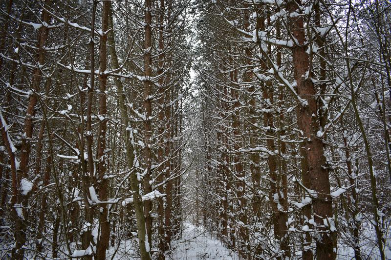 Especially nice pine and spruce trees covered with snow, they resemble. A giant fairy-tale characters stock images