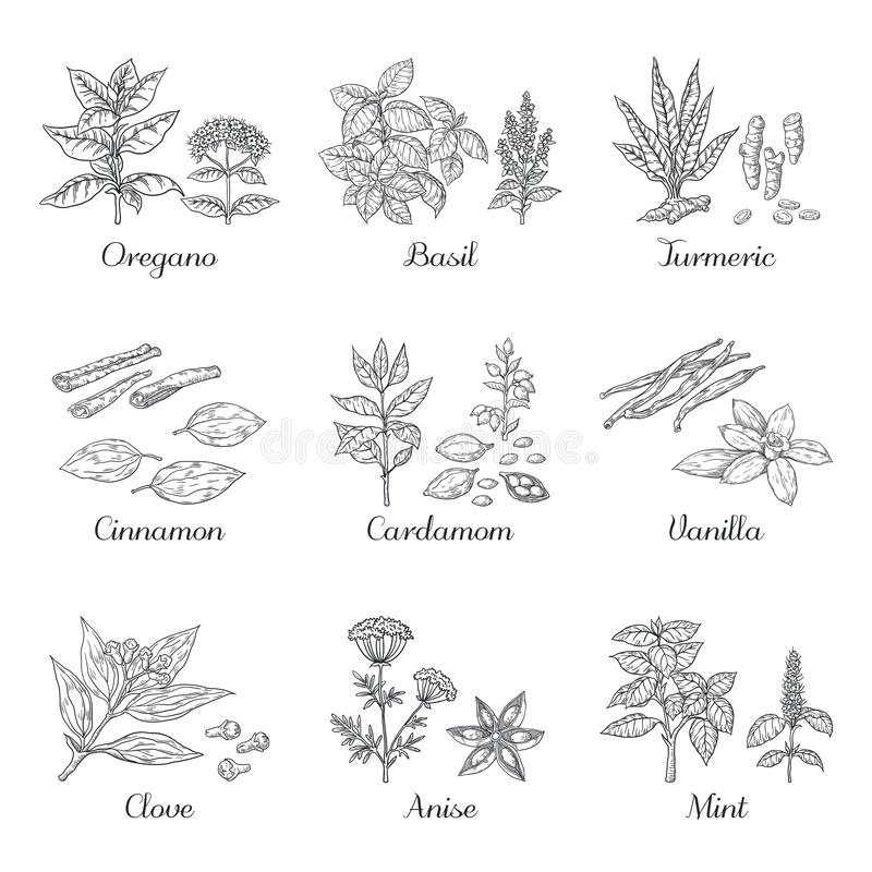 especias dibujadas mano Las hierbas y las verduras bosquejan elementos, albahaca del cardamomo de la cúrcuma del orégano y la men libre illustration