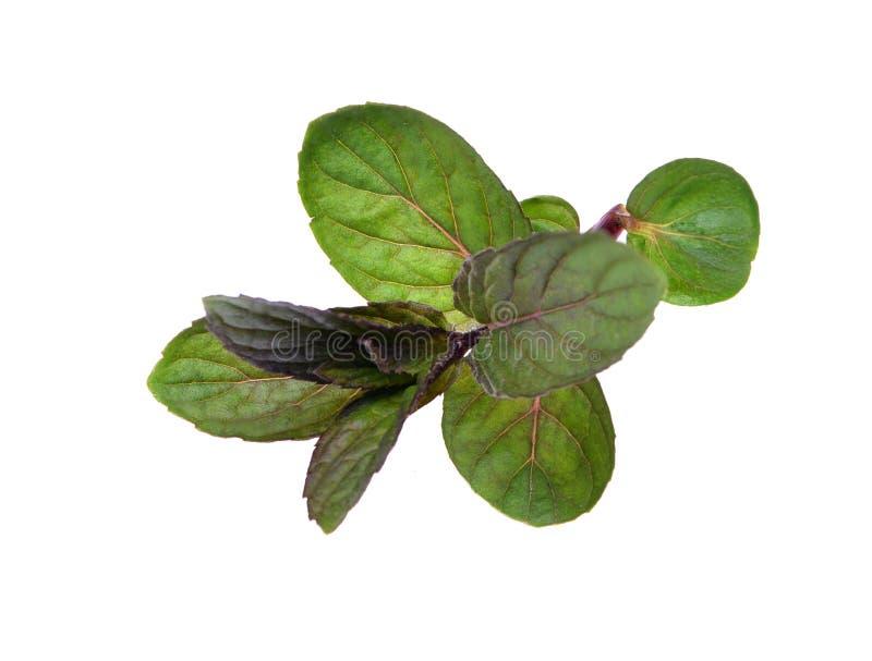 Especias verdes frescas - bálsamo o Melissa Officinalis de limón fotos de archivo