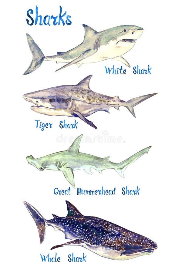 Especie de los tiburones fijada: Blanco, tigre, gran tiburón de Hummerhead y de ballena, aislados en el fondo blanco stock de ilustración