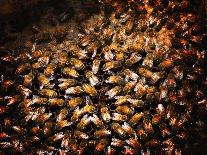 / Especie del mellifera de los Apis con un inferior más grande del cuerpo al dorsata de los Apis La abeja es el partido más popul fotos de archivo
