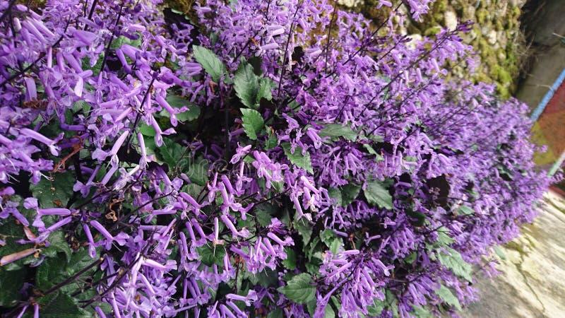 Especie desconocida de flores púrpuras imagenes de archivo