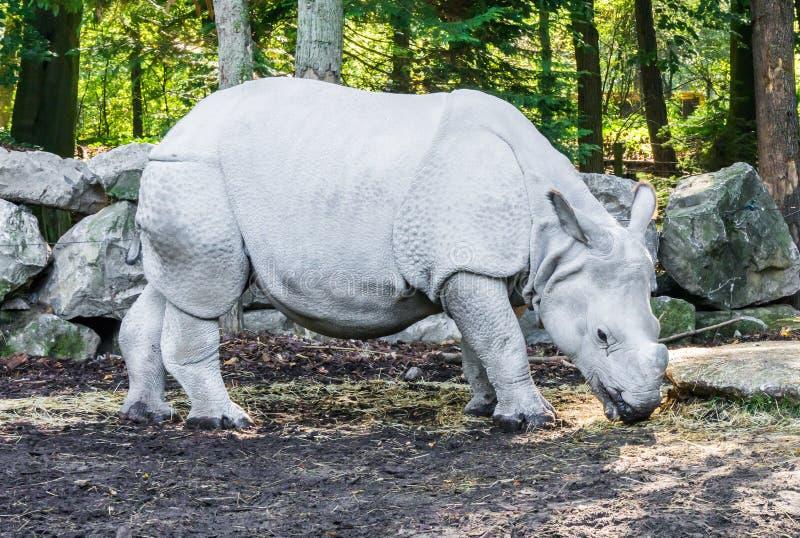 Especie en peligro rara del rinoceronte del retrato animal hermoso indio del primer fotografía de archivo