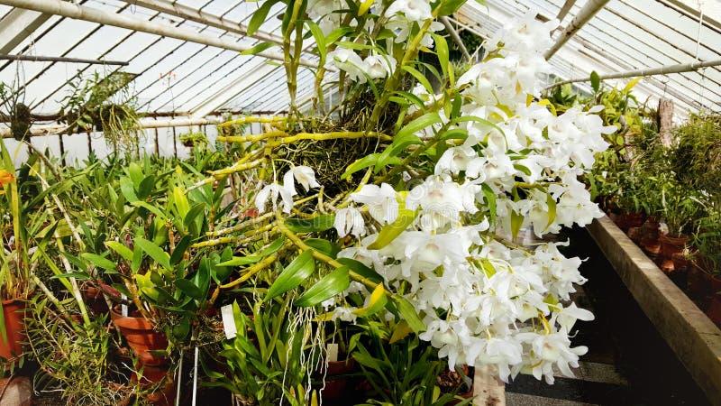 Especie rara de la orquídea en el jardín botánico de Sofía, Bulgaria fotografía de archivo libre de regalías