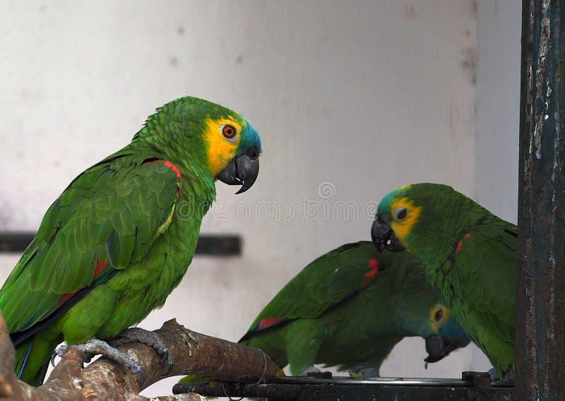 Especie roja y verde del Macaw o del Psittacidae fotografía de archivo