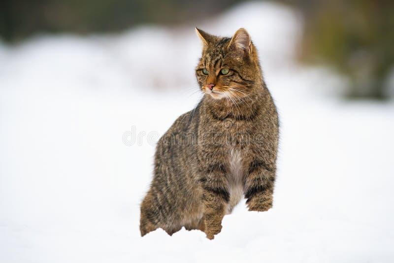 Espectáculo europeo dominante, silvestris felis en la nieve en invierno fotografía de archivo libre de regalías