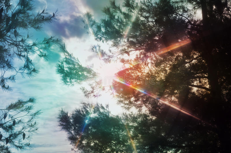 Espectro claro através dos pinheiros imagens de stock