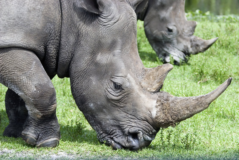 Espejo del rinoceronte fotos de archivo libres de regalías
