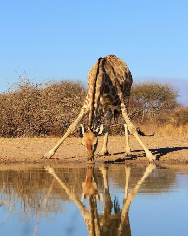 Espejo que parte - jirafa imagenes de archivo