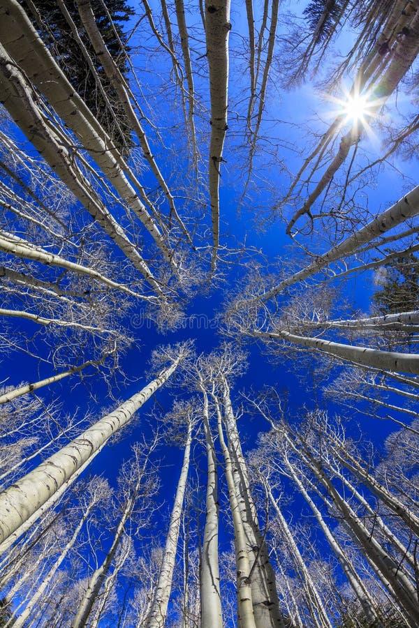 Espen met blauwe hemel stock fotografie