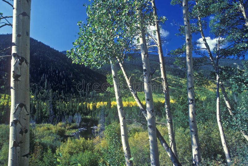 Espen, San Juan National Forest, Co stock afbeelding