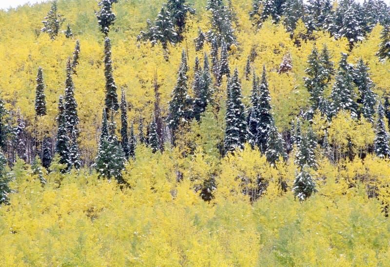 Espen und erster Schnee nahe Ridgeway, letzte Dollar-Ranch-Straße, Colorado lizenzfreie stockfotografie