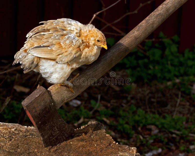 A espera de uma galinha crescente para obter o sexo direito