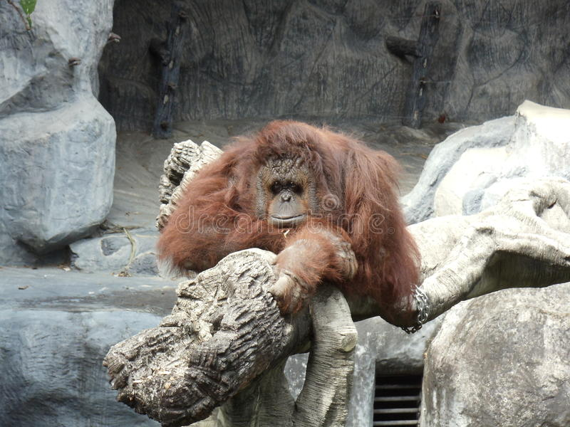 Espera do orangotango para alguém foto de stock royalty free