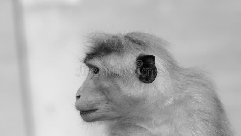 A esperança do macaco foto de stock