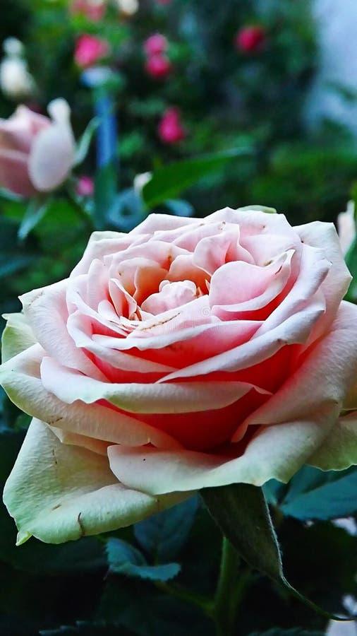 Esperance-Rose lizenzfreie stockbilder