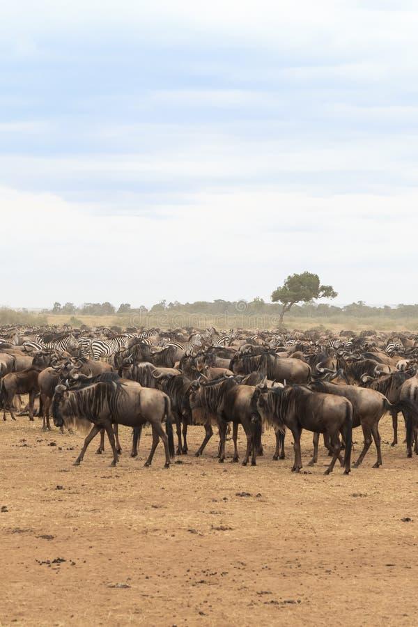 Esperar la travesía Manadas grandes de ungulates en la orilla Río de Mara Kenia, África imagen de archivo