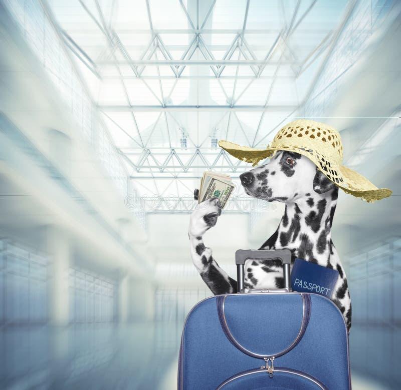 Esperas Dalmatian do c?o no aeroporto com mala de viagem azul fotografia de stock royalty free