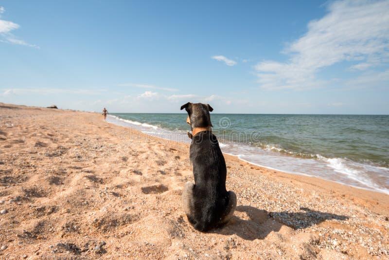 esperas do cão preto no litoral de seus olhares mestres na distância e nas faltas imagem de stock royalty free