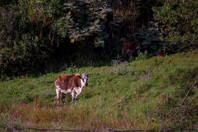 Esperas rojas y blancas de Holstein que se ordeñarán fotografía de archivo