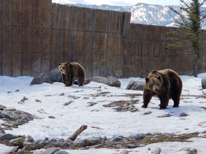 Esperienza dell'orso grigio immagini stock