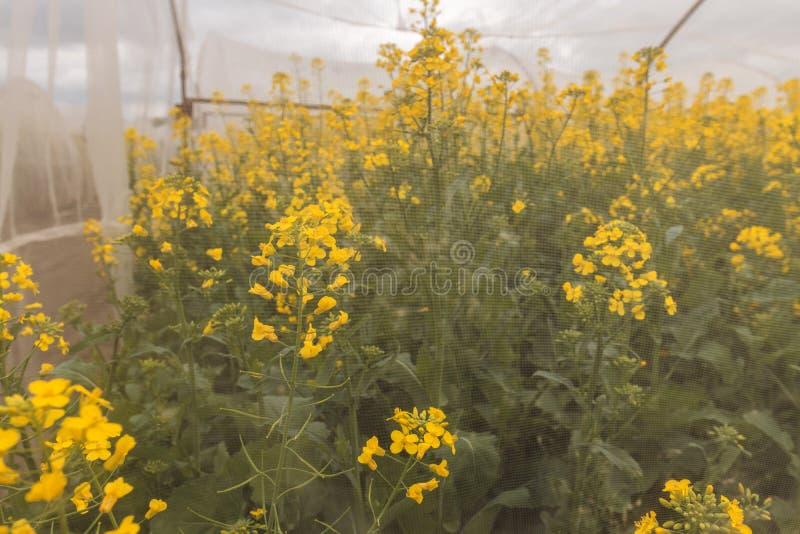 Esperimento crescente sostenibile organico della colza nelle condizioni controllate immagine stock