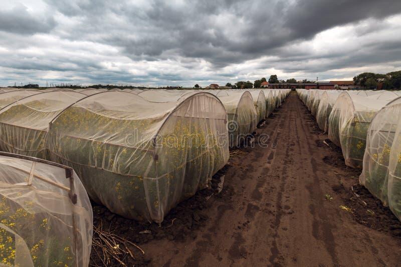 Esperimento crescente sostenibile organico della colza nelle condizioni controllate fotografia stock libera da diritti