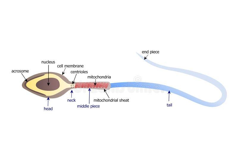 Esperma stock de ilustración