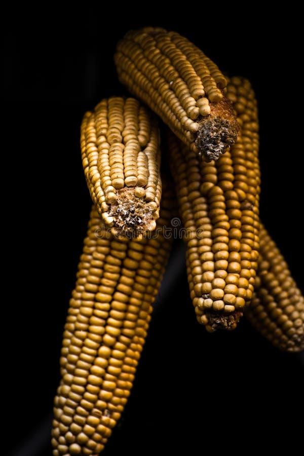 Espiga de milho com fundo preto foto de stock royalty free
