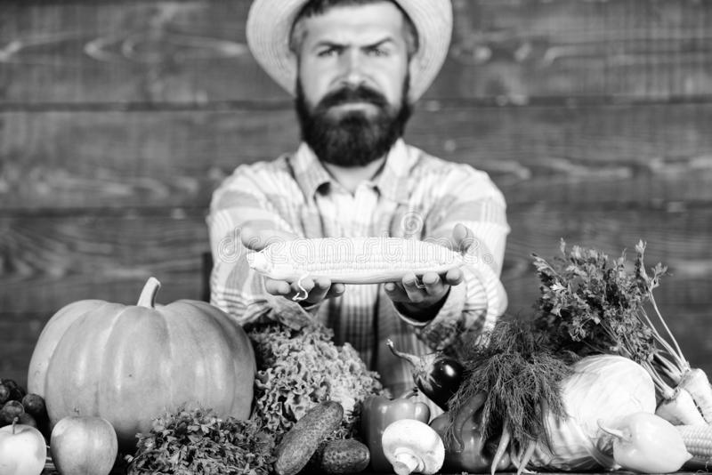 Espiga de milho da posse do fazendeiro ou fundo de madeira do milho Fazendeiro que apresenta legumes frescos Fazendeiro com colhe imagem de stock royalty free