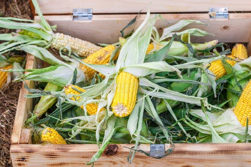 Espiga de milho orgânica crua fresca em uma caixa de madeira imagem de stock