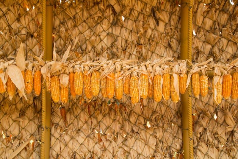 Espiga de milho seca imagens de stock