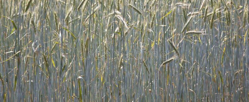 Espiga del maíz en el campo foto de archivo libre de regalías