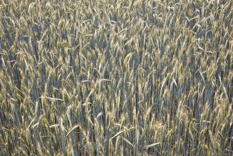 Espiga del maíz en el campo foto de archivo