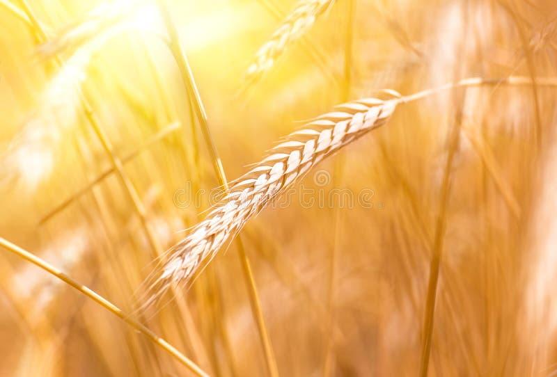 Espiga del trigo en un campo de trigo durante la puesta del sol imagen de archivo libre de regalías
