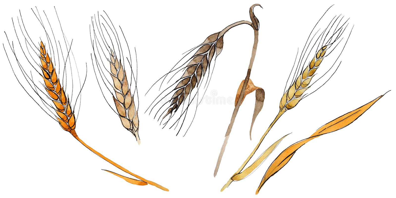 Espiga del Wildflower en un estilo de la acuarela aislada libre illustration
