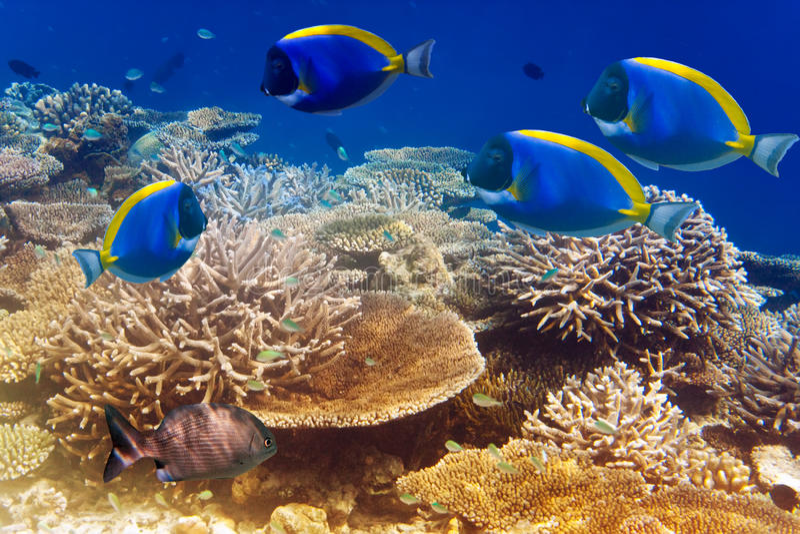 Espiga do azul de pó no recife de corais. Paisagem subaquática em um dia ensolarado imagem de stock
