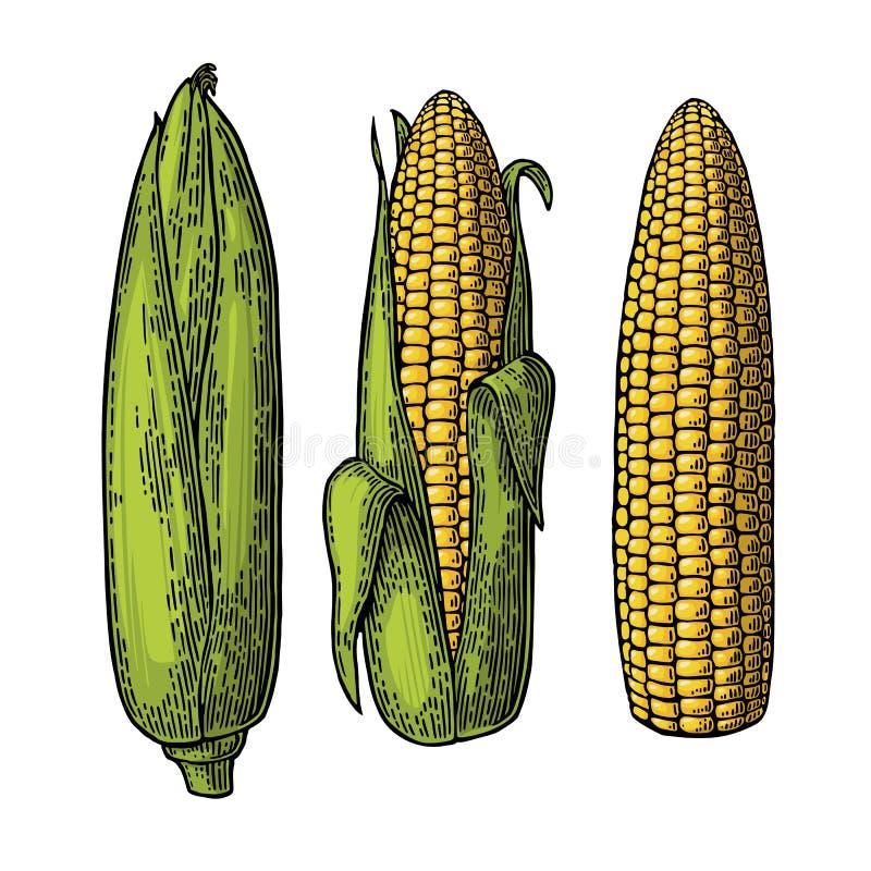 Espiga madura ajustada do milho do fechado ao limpado ilustração royalty free