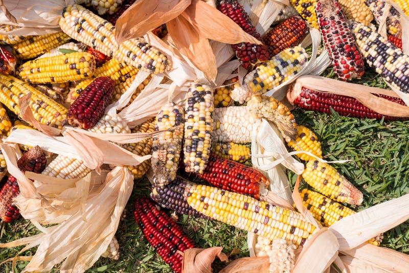 Espigas de milho das cores diferentes que secam no sol fotos de stock