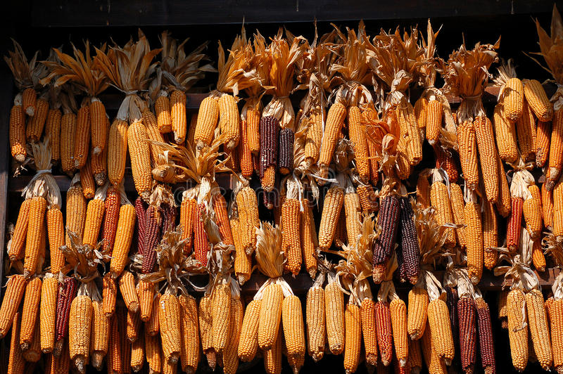 Espigas de milho no Sun fotos de stock