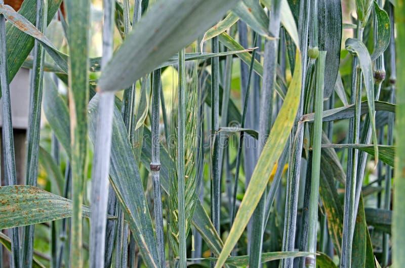 Espigas de trigo en un día soleado imagen de archivo libre de regalías