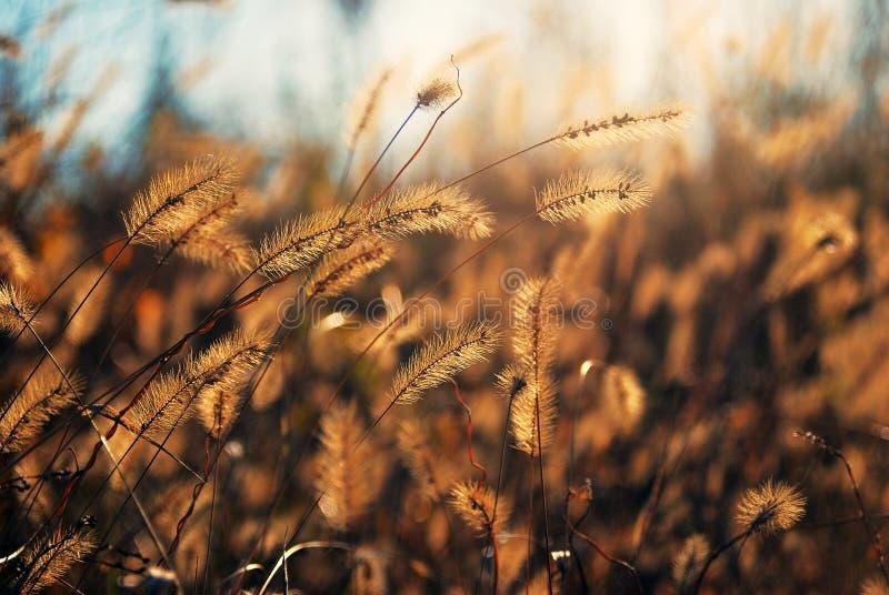 Espigas delicadas vistas luz del sol de un throung imagen de archivo
