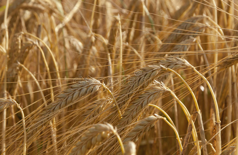 Espigas. Llega la cosecha del trigo royalty free stock photo
