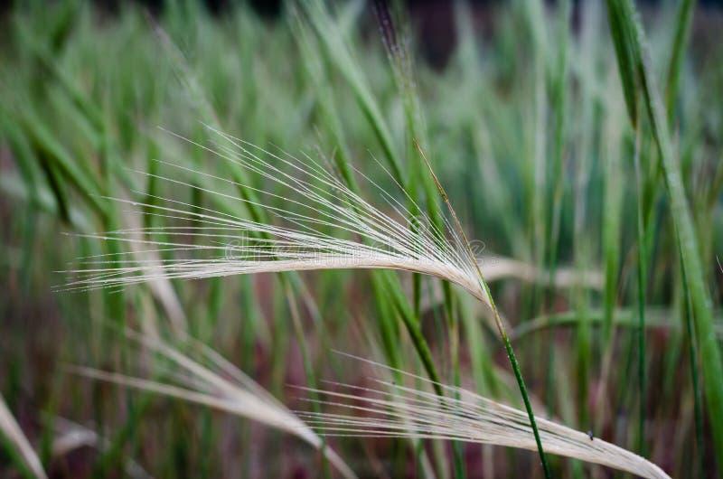 Espiguilla beige agraciada con descensos del rocío de la mañana en un fondo verde de la hierba Macro Tiroteo en el nivel del ojo imagenes de archivo