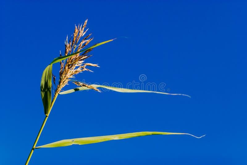 Espiguilla borrosa con las hojas largas en el viento contra el cielo azul foto de archivo