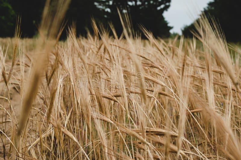 Espiguillas amarillas de la cebada madura Campo de la cebada antes del amanecer Tiroteo en el nivel del ojo imágenes de archivo libres de regalías