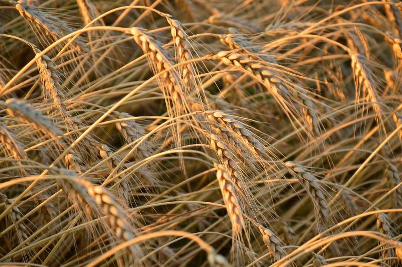 Espiguillas del trigo imagen de archivo libre de regalías