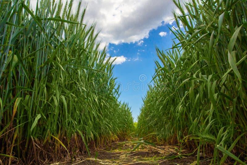 Espiguillas verdes del trigo contra el cielo azul y las nubes grises fotos de archivo libres de regalías